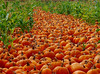 The great pumpkin road ... Arata Farms, Half Moon Bay, California